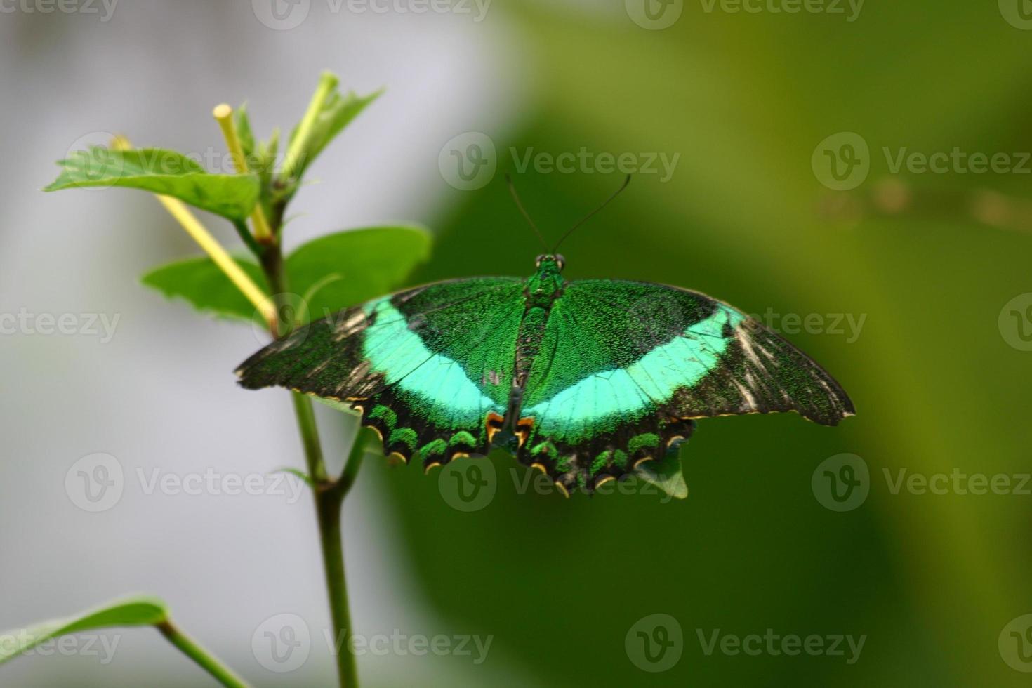 grüner Schmetterling foto