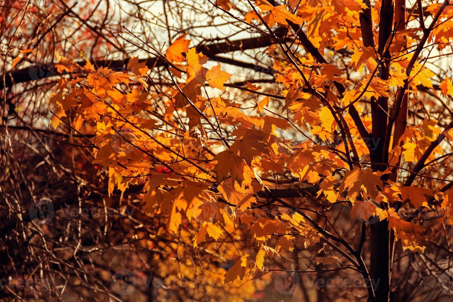 Ahornblätter im Herbst foto