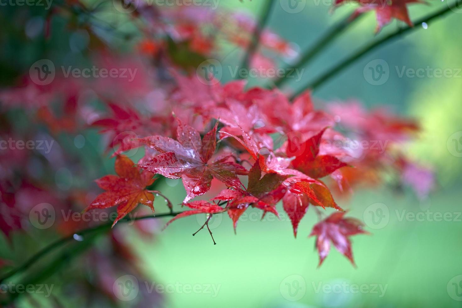 japanische Ahornblätter foto