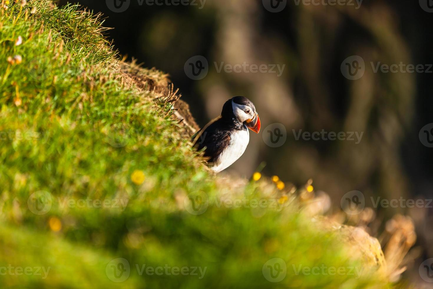 Atlantischer Papageientaucher in Westisland foto