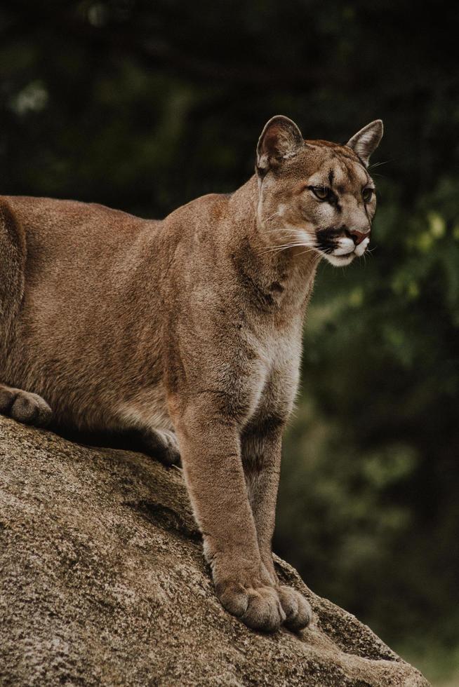 Wildkatze sitzt auf braunem Felsen bei Aufmerksamkeit foto