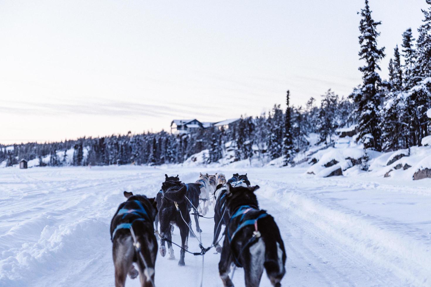 Rudel Wölfe, die auf schneebedecktem Boden schlitten foto