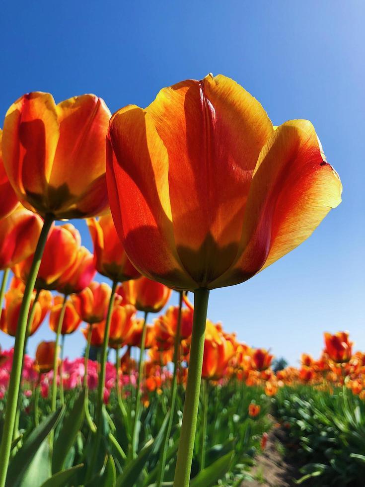 gelbe Tulpen in voller Blüte foto