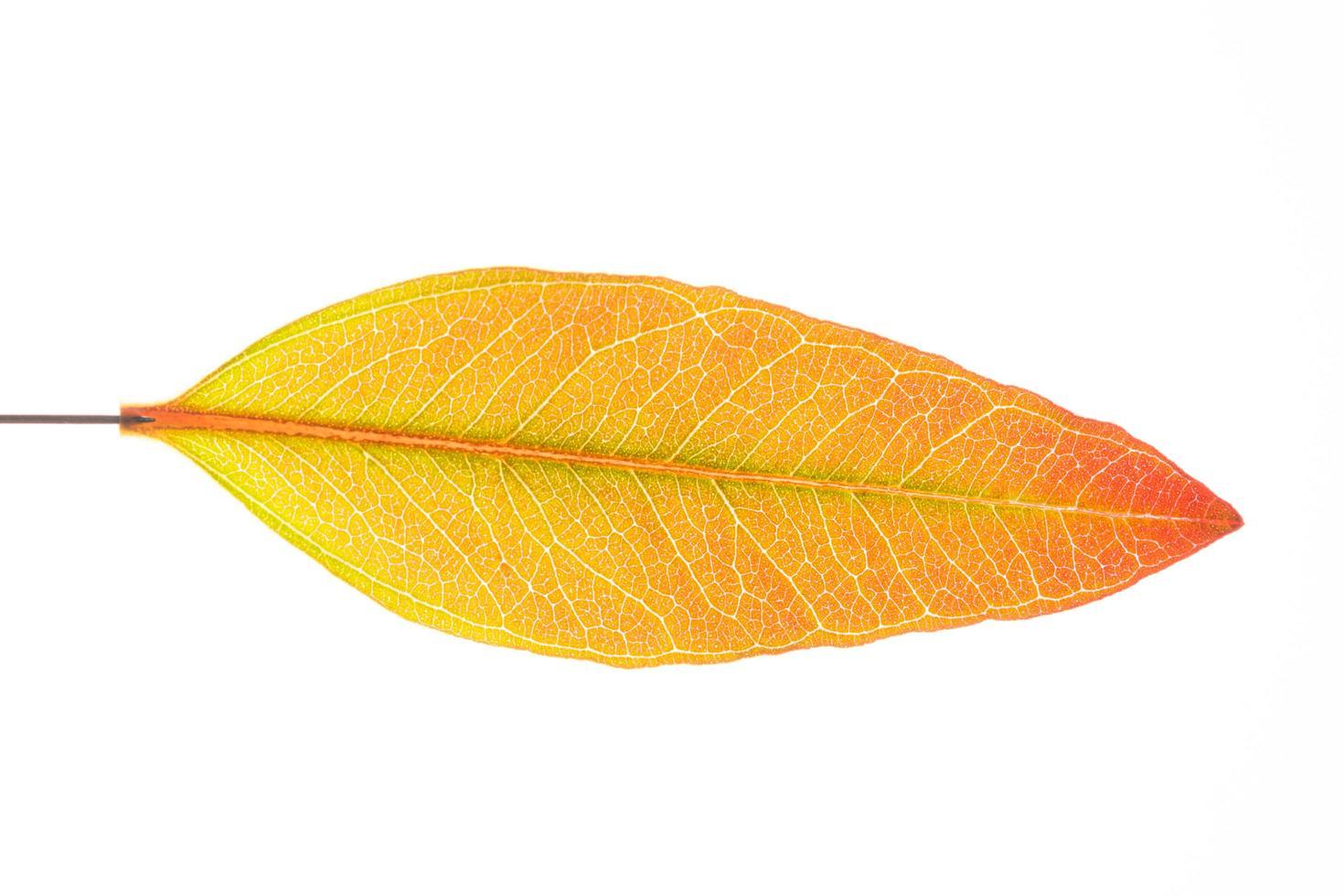 Eukalyptusblatt auf weißem Hintergrund foto