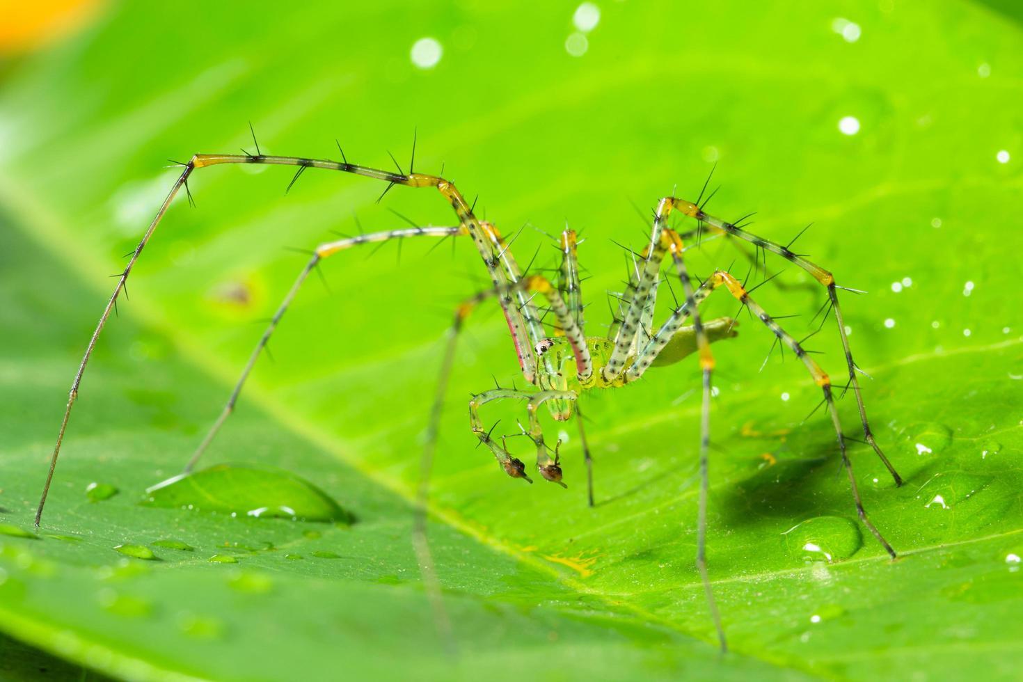 grüne Spinne auf einem Blatt foto