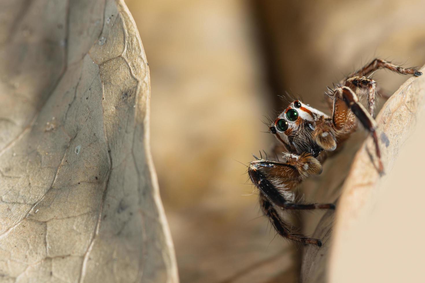 braune springende Spinne auf einem trockenen Blatt foto
