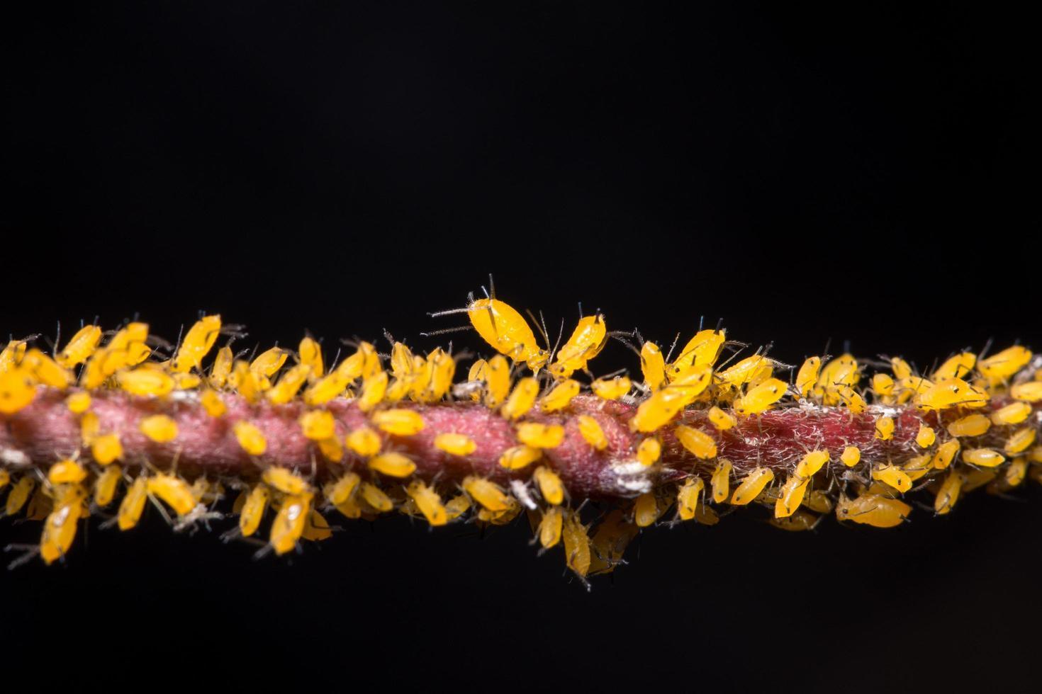 Blattläuse auf einem Ast foto