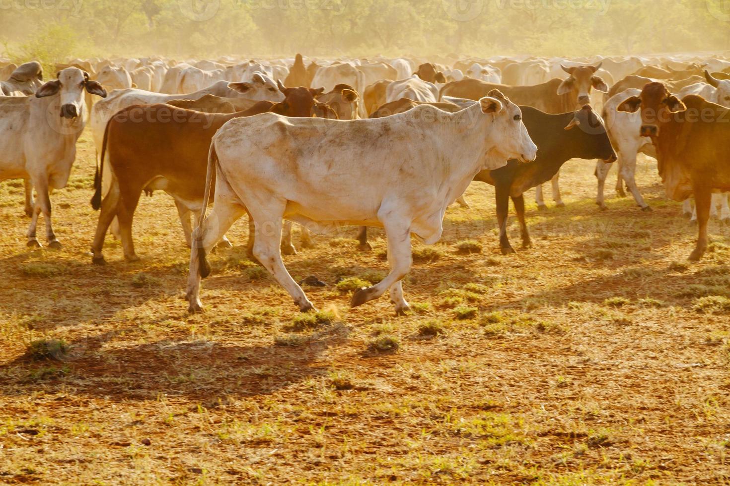 australisches Vieh foto