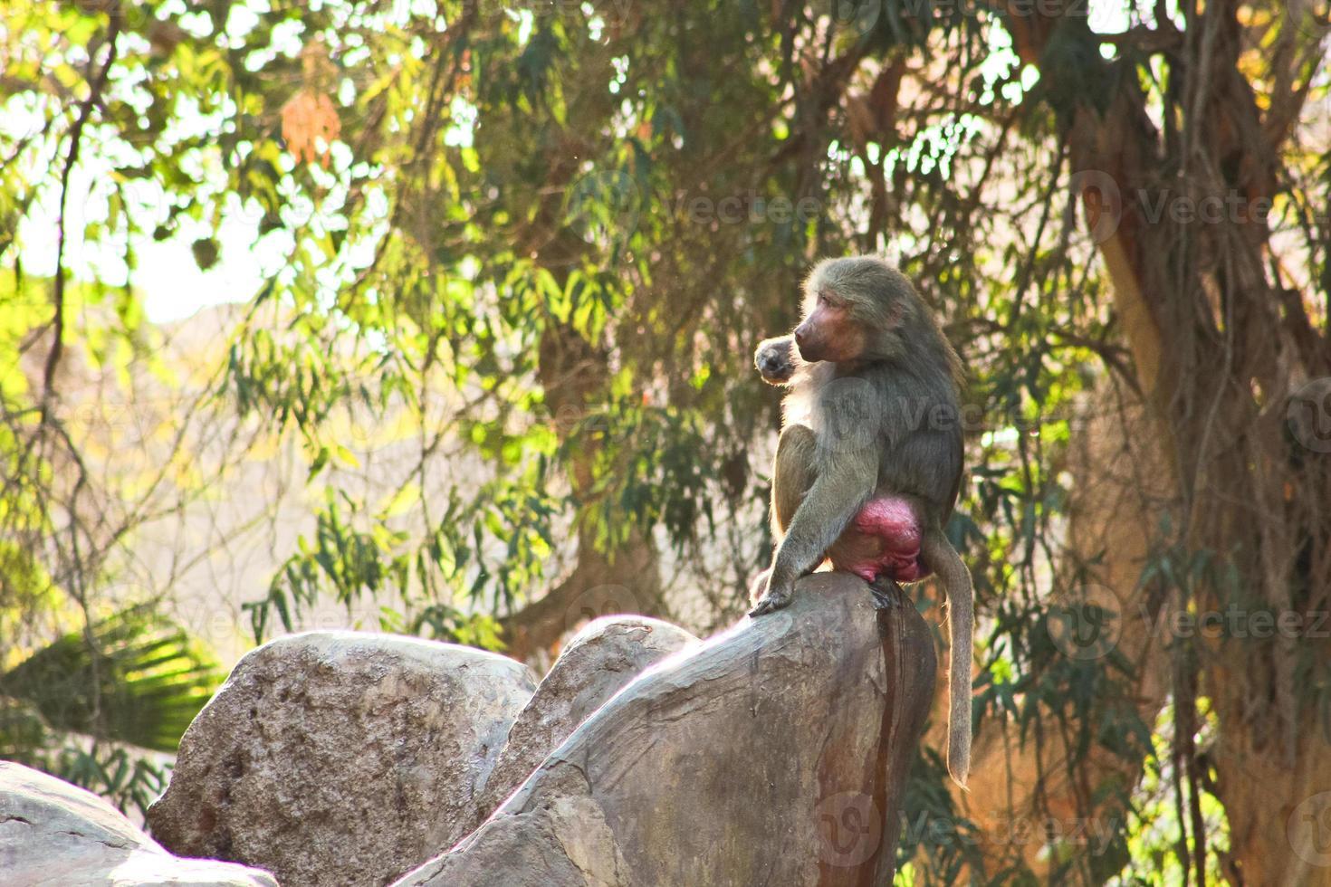 Pavianaffe, der im Zoo kühlt foto