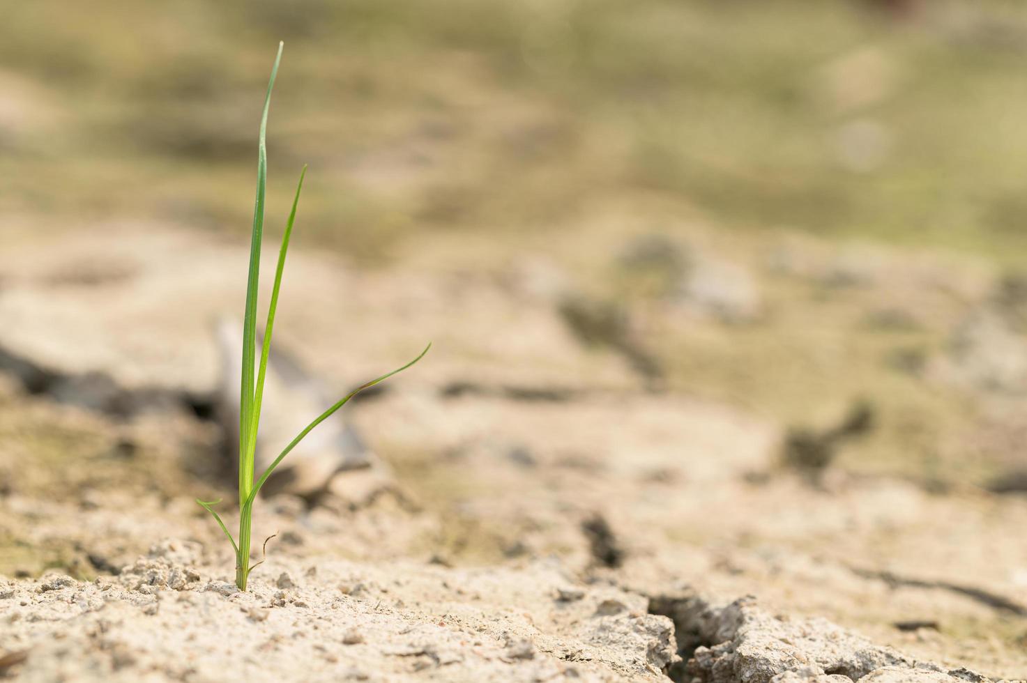 grüne Pflanze im trockenen Boden foto