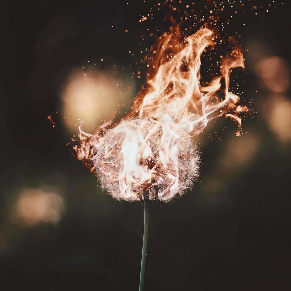 Löwenzahn in Flammen foto