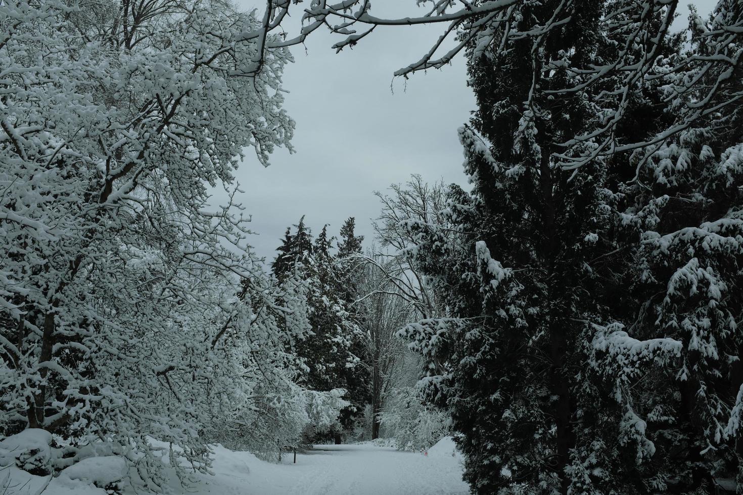 schneebedeckte Bäume foto
