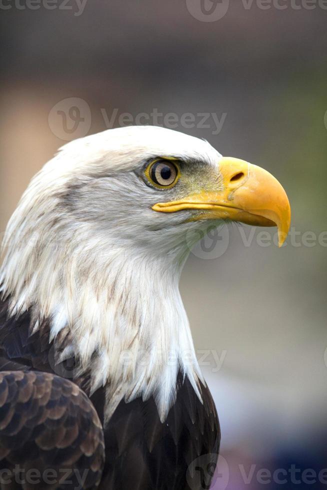 nordamerikanischer Weißkopfseeadler foto