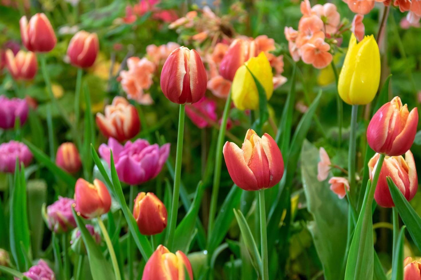 schöne Tulpen in einem Garten foto