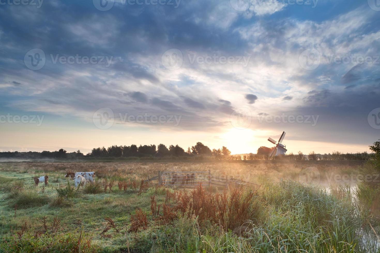 Rinder auf Weide und Windmühle bei Sonnenaufgang foto