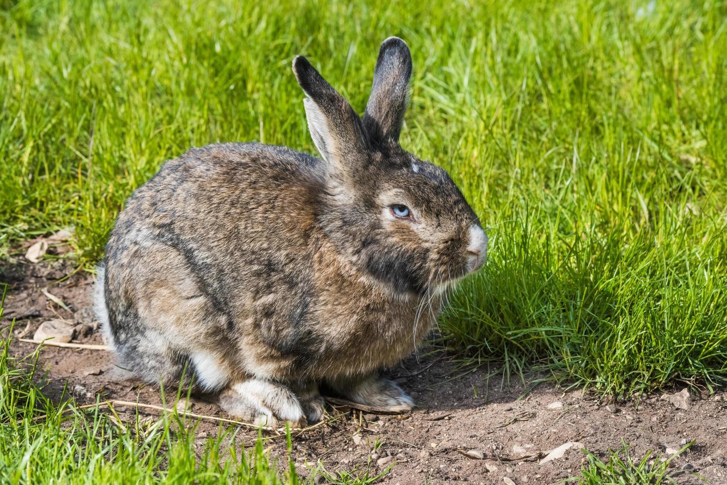 grauer Kaninchenhase, der auf grünem Gras sitzt foto