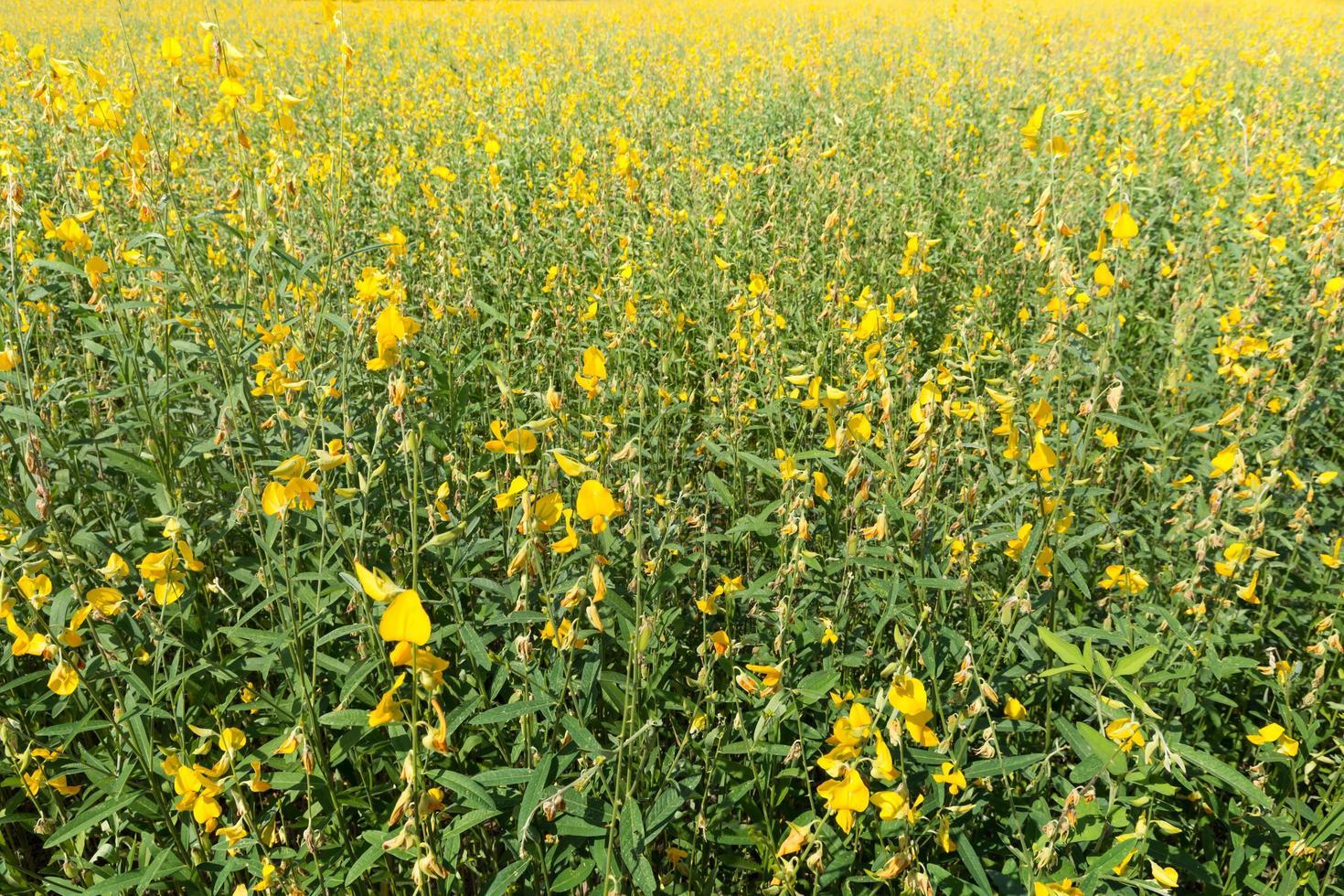 Crotalaria Chachoengsao Blüten. foto