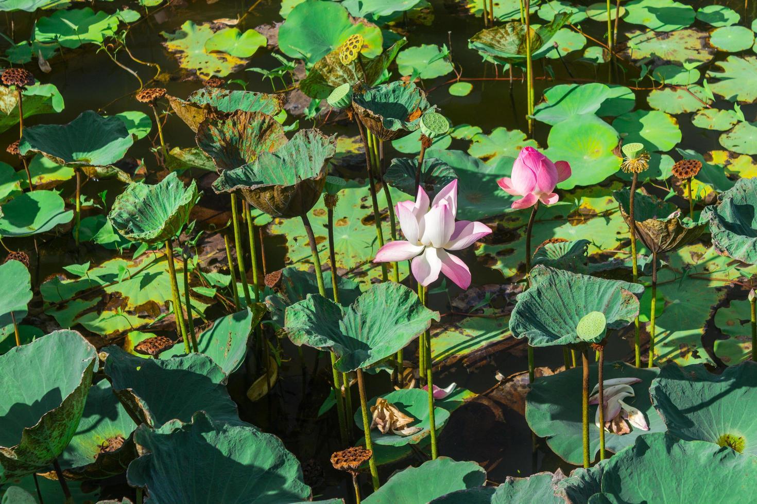 Lotusteich während des Tages foto