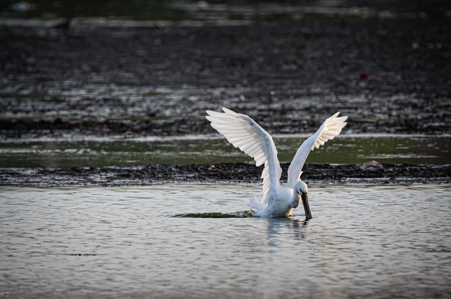 weißer Vogel, der für einen Fisch stürzt foto