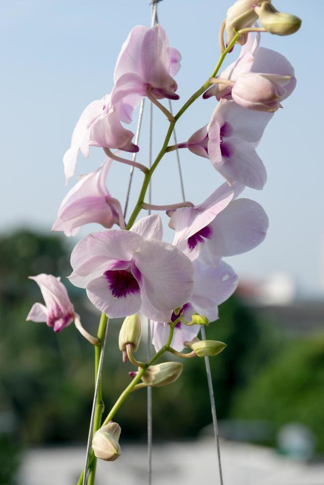 thailändische lila Orchidee foto