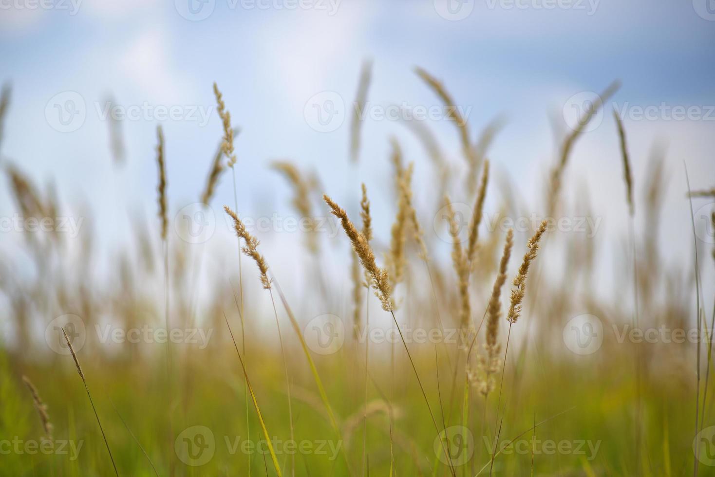 Gras Prärie foto