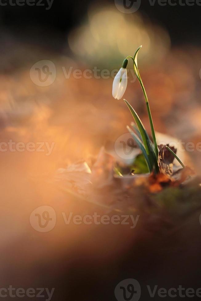 Schneeglöckchen blüht am Morgen, Weichzeichner, perfekt für Postkarte foto