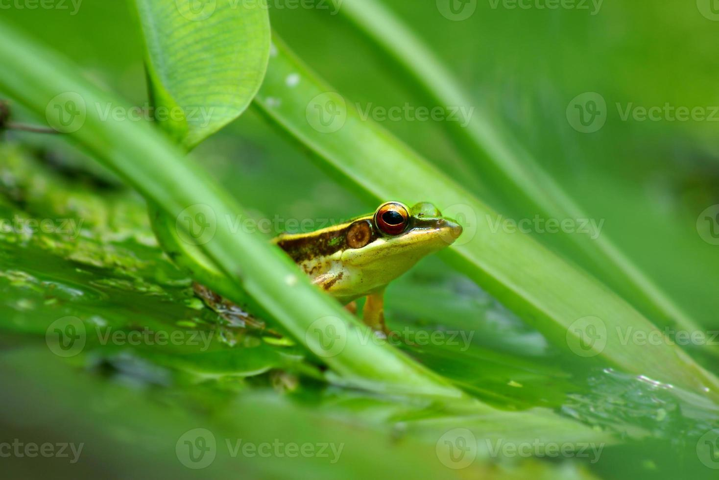 grüner Frosch in einem Teich foto