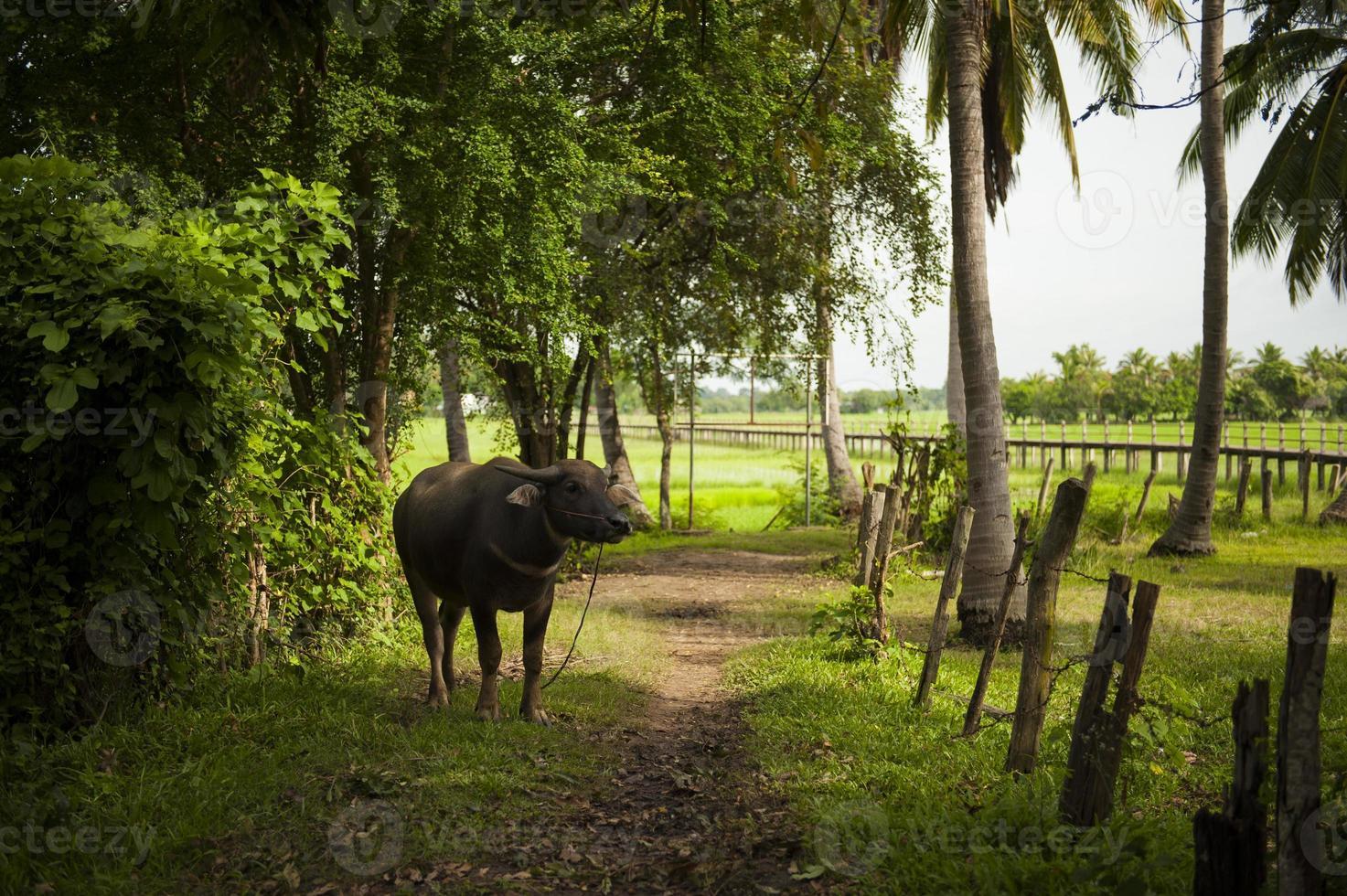 thailändischer Büffel foto