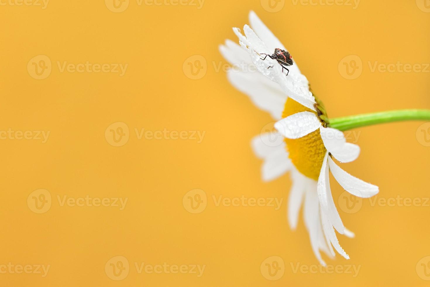 Gänseblümchen und Käfer foto