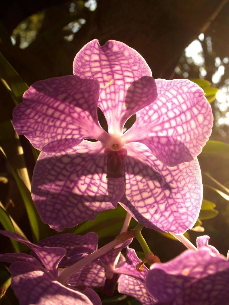 Sonne scheint durch die Blütenblätter einer Orchidee foto