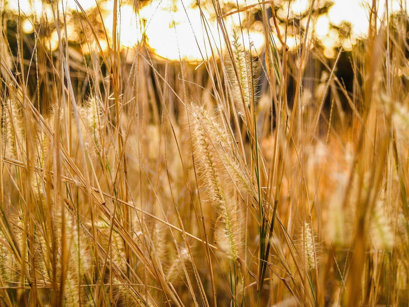 goldenes Weizenfeld foto