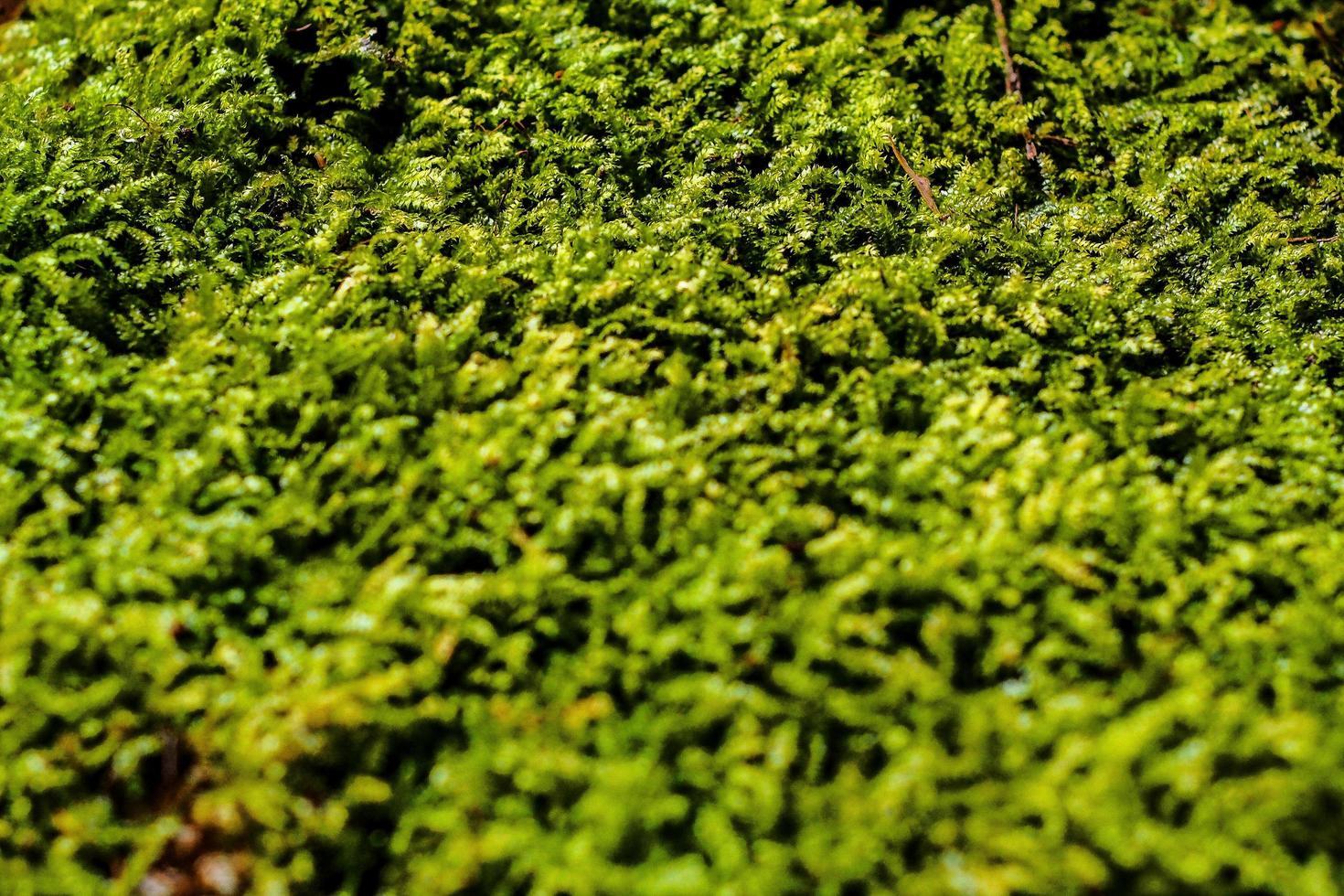 selektiver Fokus von grünem Moos foto