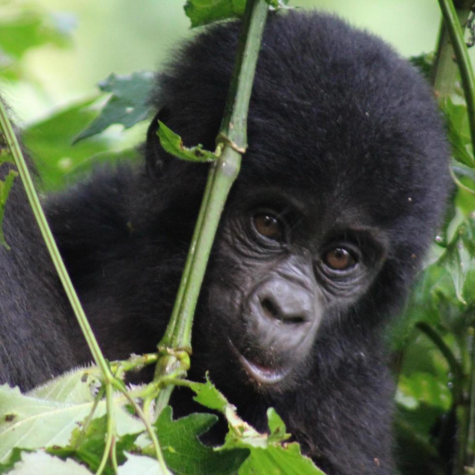Nahaufnahme eines Babygorillas foto