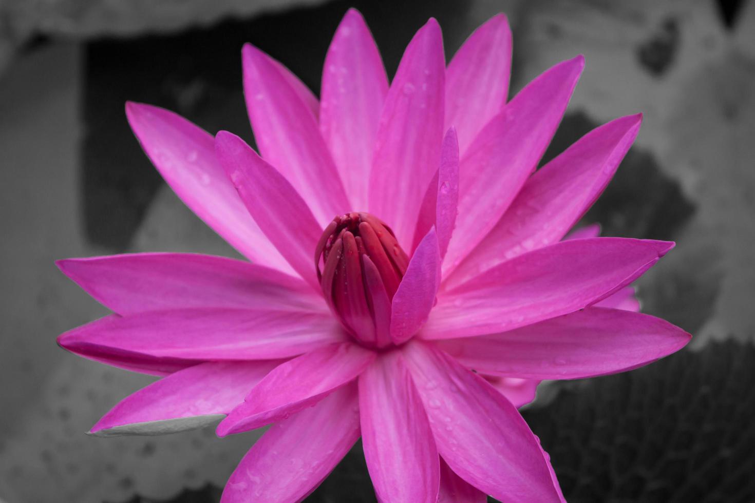 rosa Lotusblüte foto