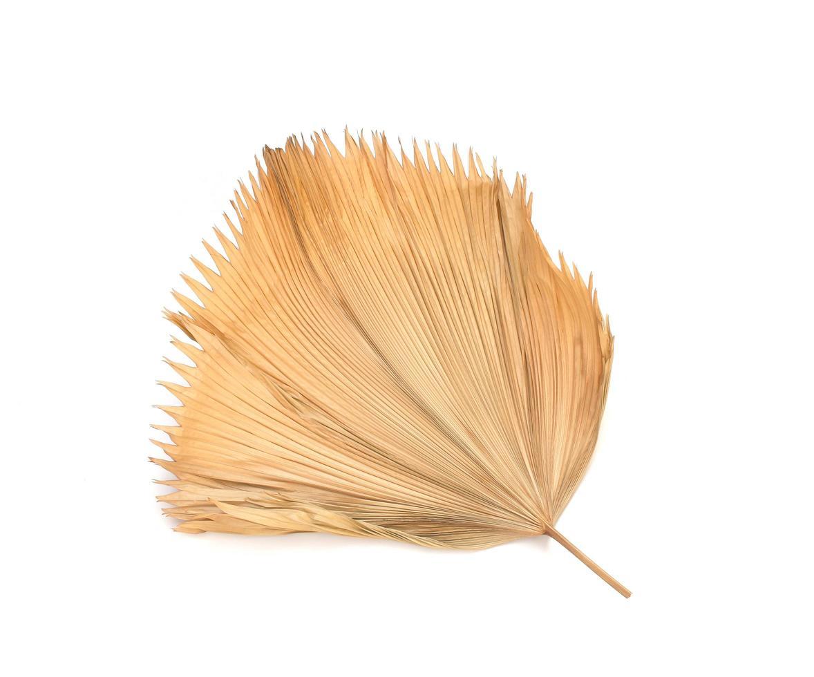 trockenes Fidschi-Fächerpalmenblatt lokalisiert auf weißem Hintergrund foto