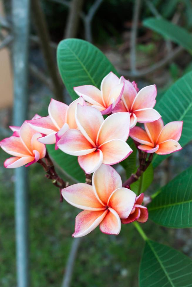 rosa und orange Frangipani foto