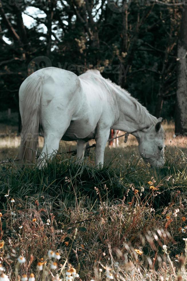 wunderschönes weißes Pferd, das Gras isst foto
