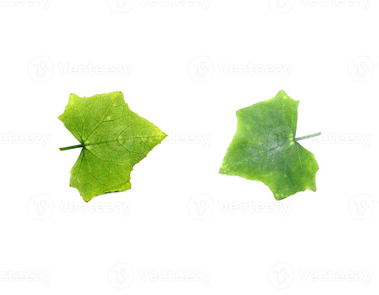 Sammlung tropisches grünes Blatt auf weißem Hintergrund foto