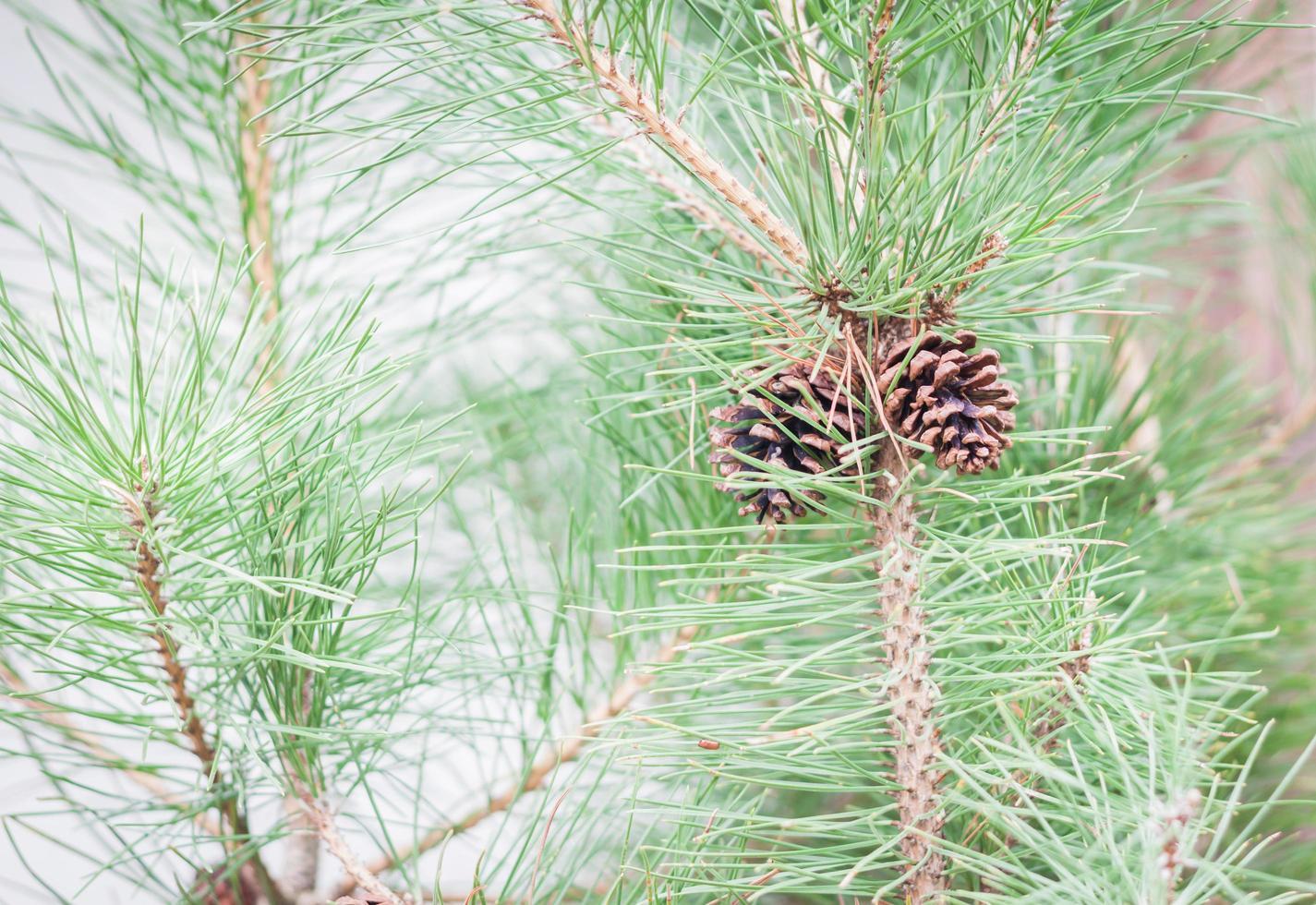 Nahaufnahme eines Zweiges mit Tannenzapfen foto