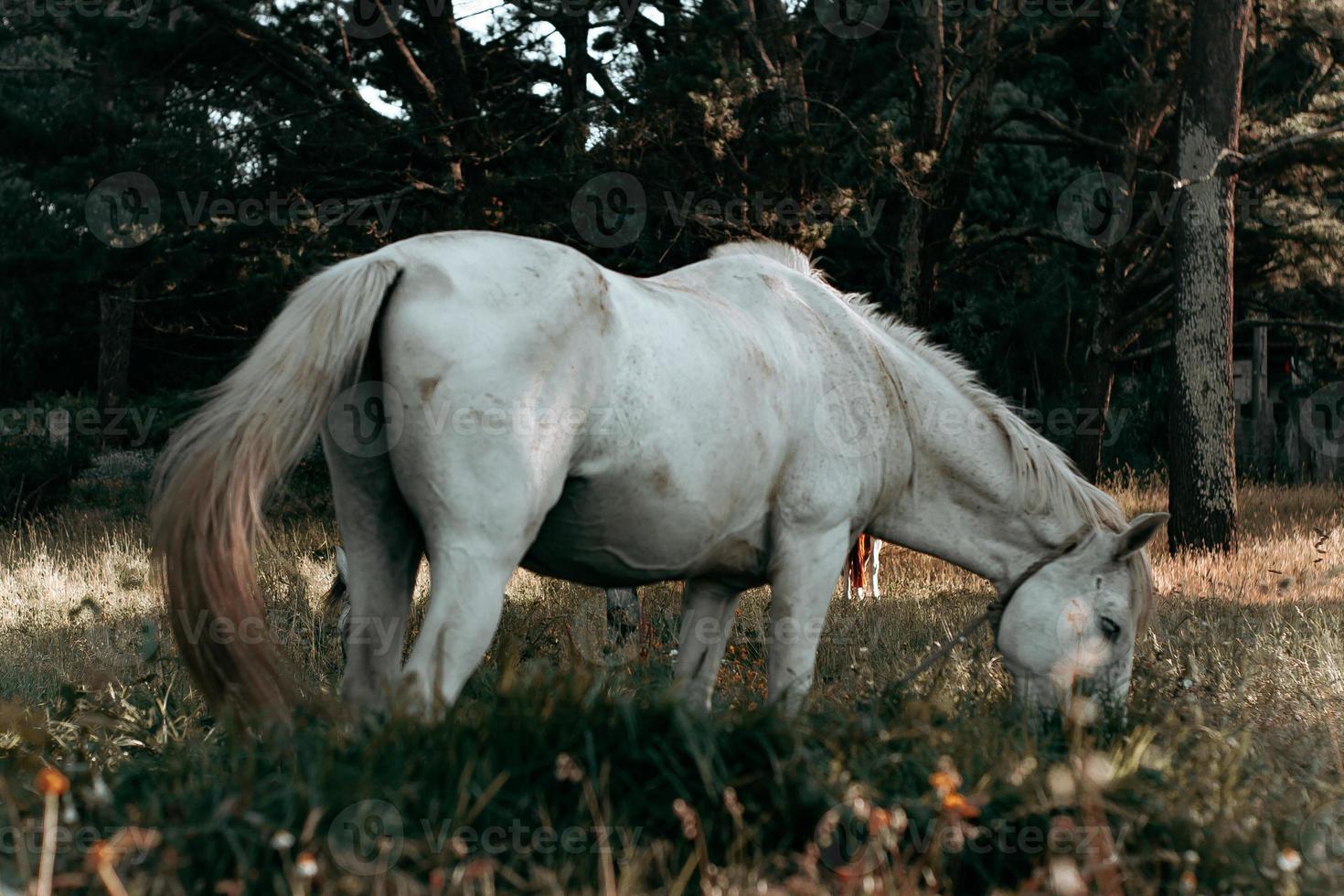 horizontaler Schuss eines weißen Pferdes, das Gras isst foto