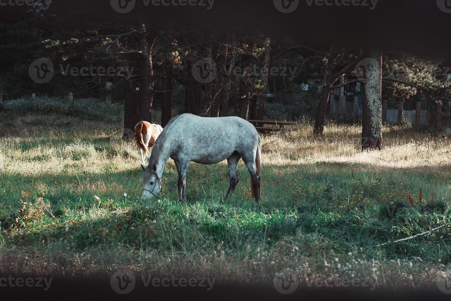 Schuss vom Zaun eines weißen Pferdes, das Gras frisst foto