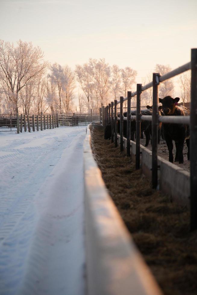 schneebedeckte Straße und Vieh foto