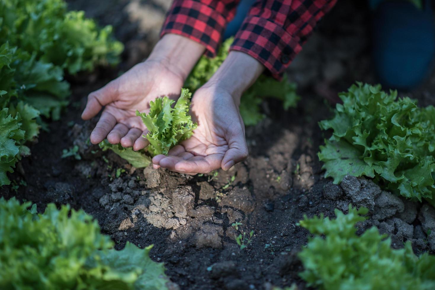 eine Frau pflanzt vorsichtig Setzlinge foto