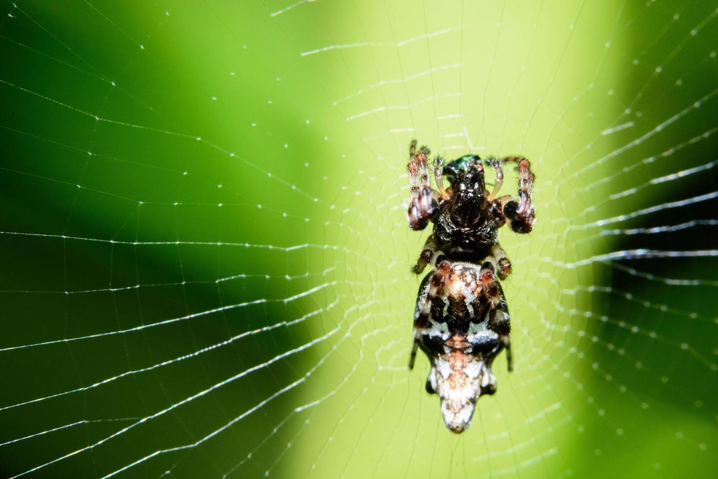 Spinne im Spinnennetz foto