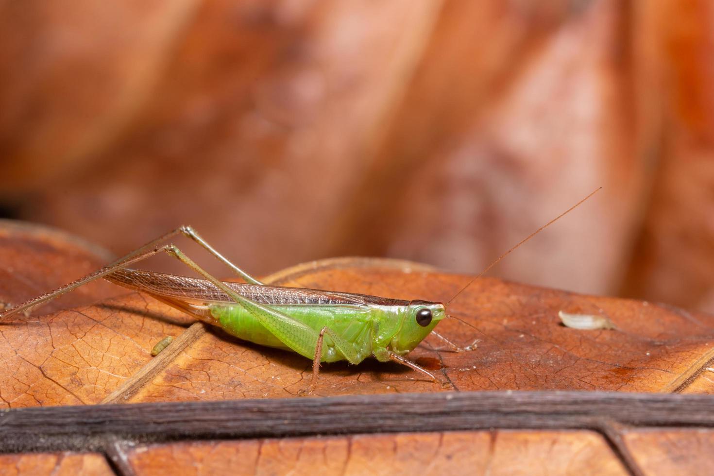 grüne Heuschrecke auf einem Blatt foto