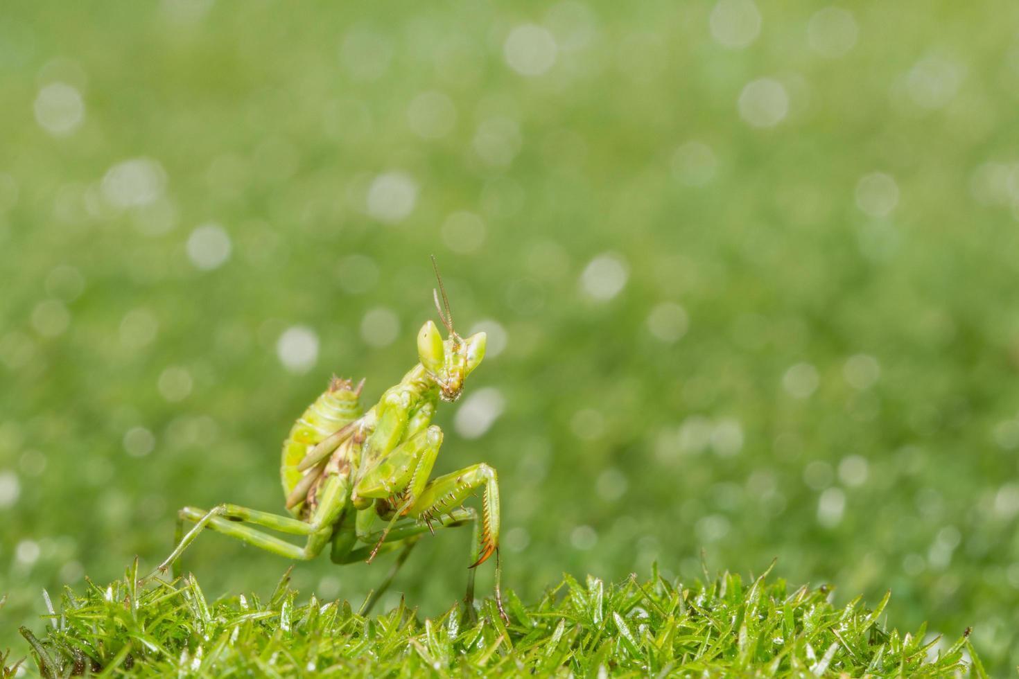 Heuschrecke im Gras foto