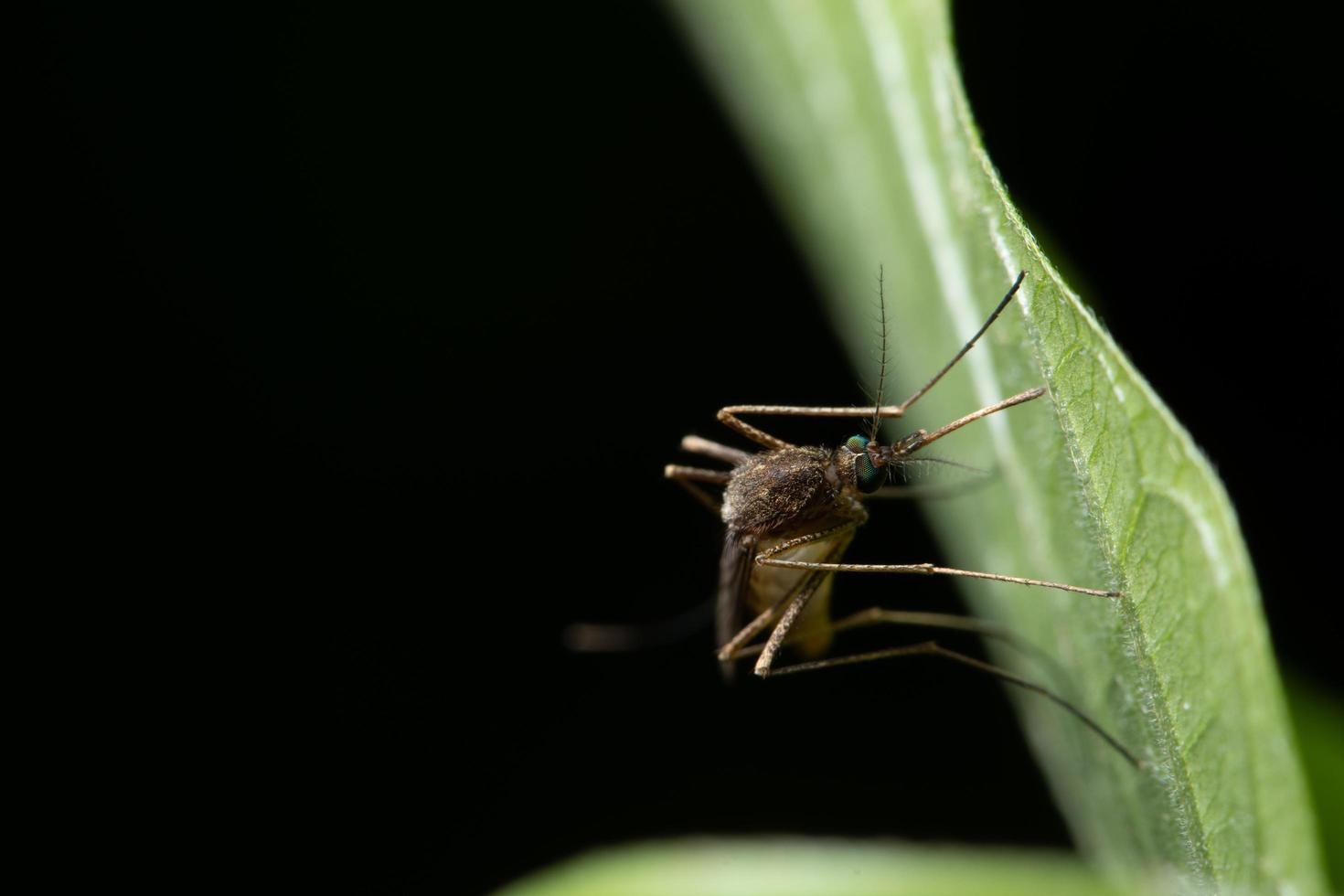 Mücke auf einem Blatt foto