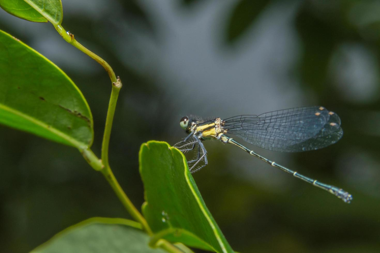 Libelle auf einem Blatt foto