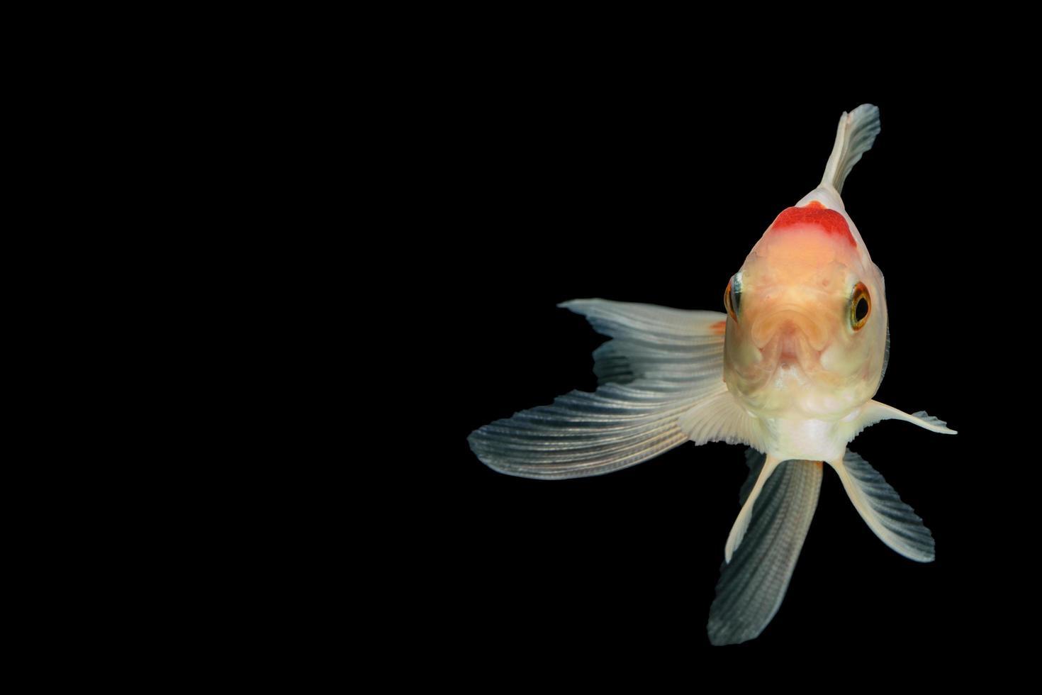 bunter Goldfisch auf schwarzem Hintergrund foto
