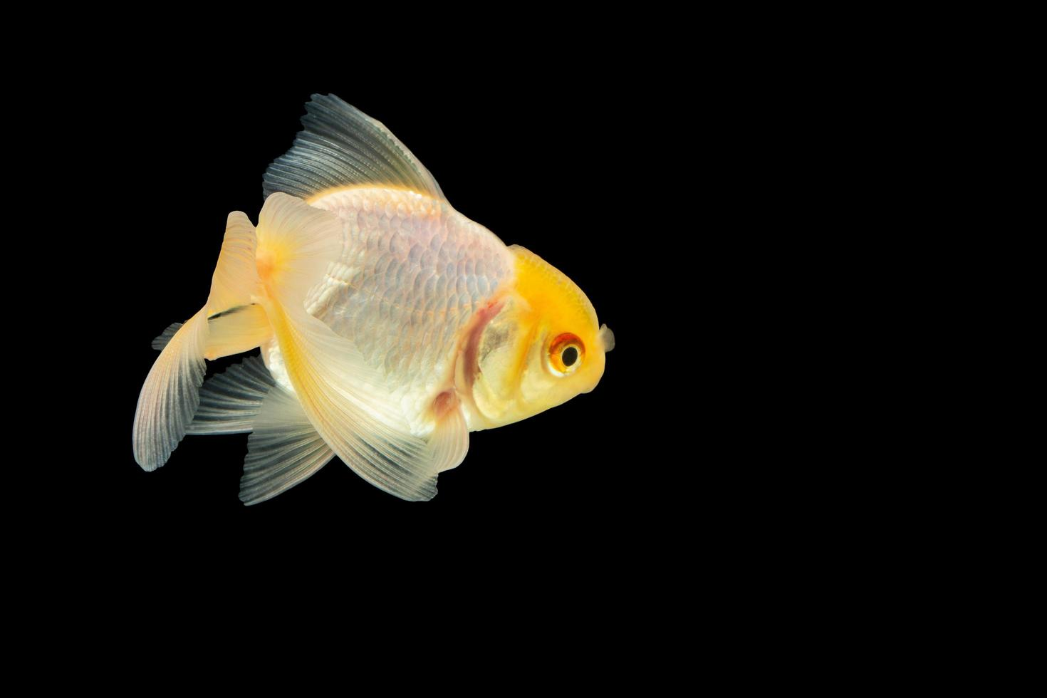 Goldfisch auf schwarzem Hintergrund foto